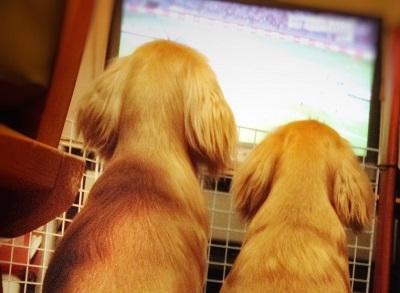 テレビを見る犬