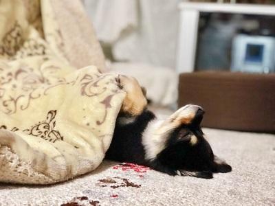 コタツで寝る犬