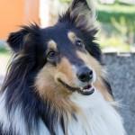 コリー犬の魅力を紹介!歴史や性格、暮らし方について。