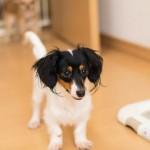 愛犬のおしっこ粗相でフローリングがシミに…原因とオススメの洗剤