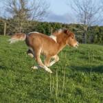 ミニチュアホース界の有名馬をご存知ですか?スエトシ牧場の「そらまめ」と「えだまめ」