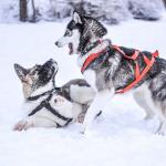 愛犬と雪遊び!長野のスキー場と関東近郊の雪遊びおすすめスポット!