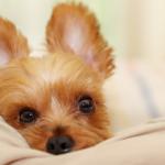愛犬の耳掃除方法と注意点、おすすめの犬用耳ケア用品を紹介!