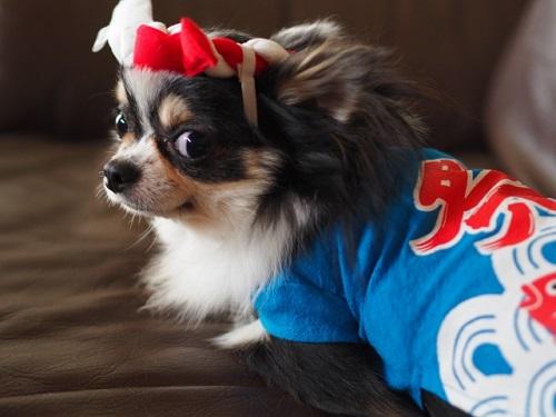 お祭りファッションの犬