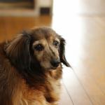 犬の老化のサインと食事・運動・住環境で気を付けるポイント