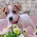 犬の耳の形にはどんな種類がある?犬の耳の形16種類を紹介!