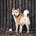 Shiba Inus butts are so sweet!