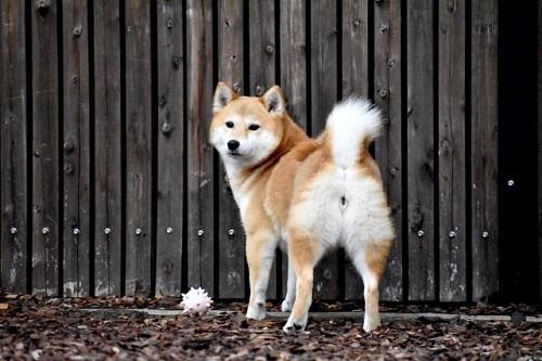 柴犬のお尻