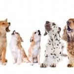 吠えやすい犬種と吠えにくい犬種のまとめ☆吠えやすい理由や豆知識も紹介します!