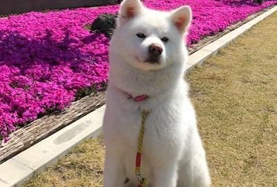 秋田犬ポンズ様
