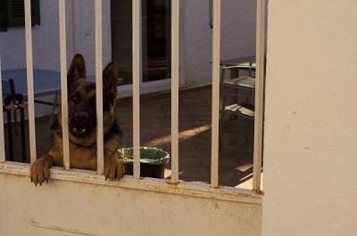 家の中から外を見る犬