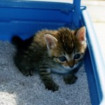 猫は尿路結石になりやすい?~猫のおしっこトラブルを起こしやすい理由~