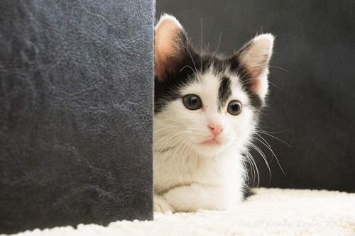 覗き見る子猫