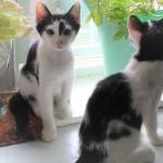 猫と暮らすボランティア in アメリカ:②天使の猫たちとの日々