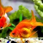 実は日本出身じゃない!?昔から愛されてきた観賞魚「金魚」の歴史と代表的な4種類を紹介!