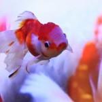 金魚を飼ってみよう!金魚の飼育に必要なアイテムと飼育の注意点☆