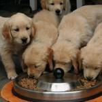 フードを食べてくれない愛犬に!ユニークなレシピのドッグフード「アディクション」を紹介