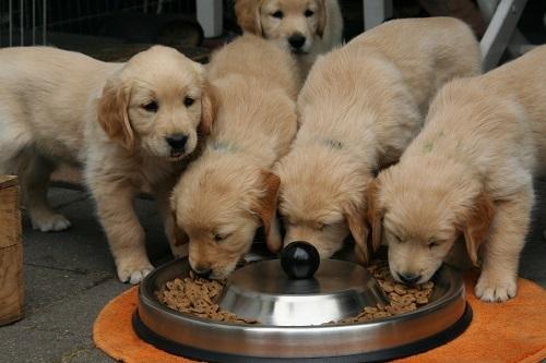 ドッグフードを食べる子犬たち