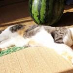 「猫は暑さに強い」はウソ?猫の夏バテの理由とその症状について☆