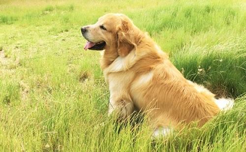 大型犬(ゴールデンレトリバー)
