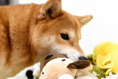 ぬいぐるみを咥える柴犬