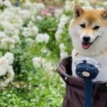 介護が必要になった時にも便利!大型犬におすすめのペットカート6選