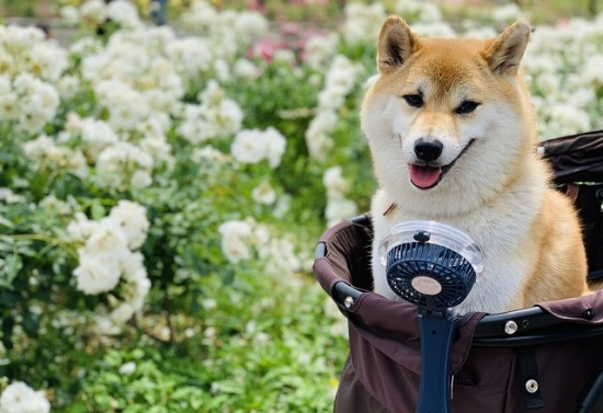 ペットカートに乗る犬