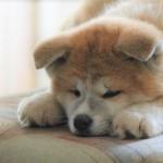 モフっぷりがたまらない!Instagramで活躍中の秋田犬たちを紹介♪