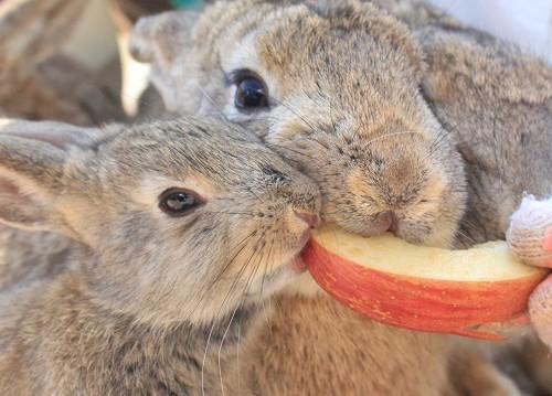 リンゴを食べるウサギ