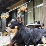犬に絶対与えてはいけない食品「玉ねぎ」なぜ危険なの?中毒症状は?