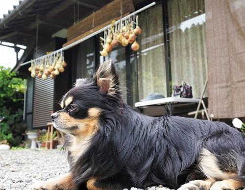 犬と玉ねぎ