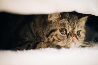 毛布に挟まる猫