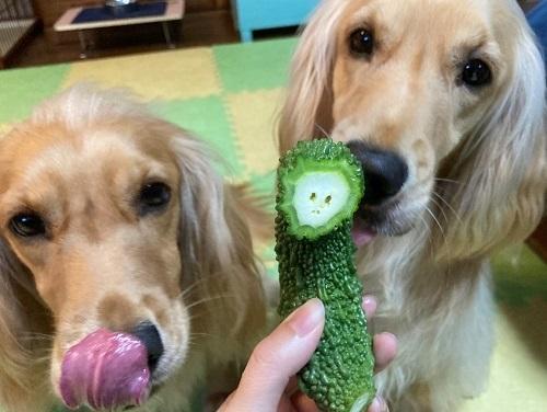 愛犬とゴーヤ