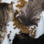 猫に1日何回ご飯あげてる?理想的な猫のご飯の回数は?