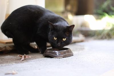 ご飯を食べる黒猫