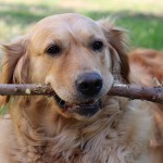 犬のおもちゃを選ぶ基準を完璧に満たす!梨の木のおもちゃに注目☆