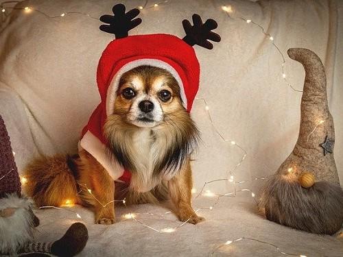 クリスマスコスプレの犬