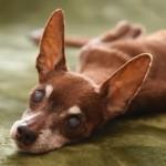 犬の「白内障」ってどんな病気?原因や症状について