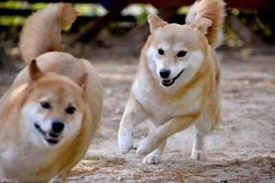柴犬・ドッグラン