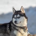 シベリアンハスキーってどんな犬?シベリアンハスキーの基本情報