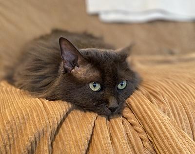 糖尿病予備軍の猫