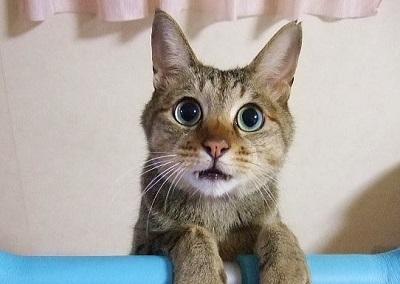 耳の立った猫