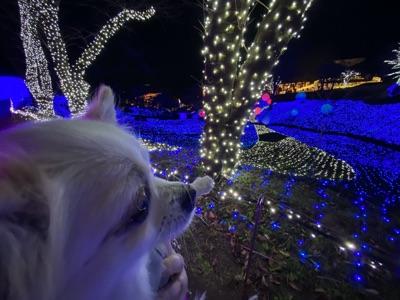 イルミネーションを見つめる犬