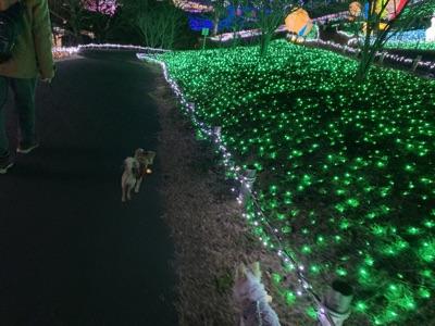 イルミネーションの中を散歩する犬