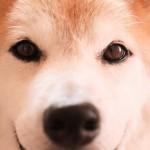 オオカミに最もDNAが近いのは柴犬!?オオカミに似て野性味が強い柴犬の性格や特徴とは?