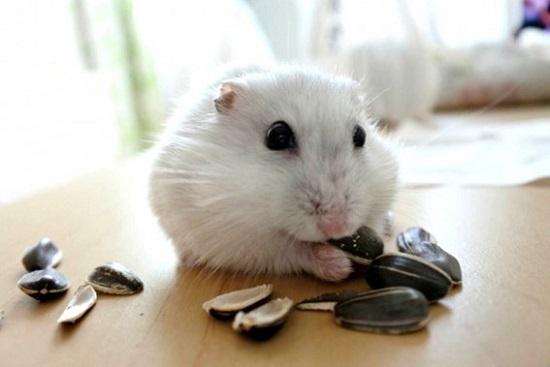 ヒマワリのタネを食べるハムスター