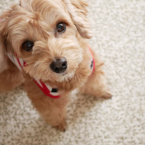 じっと座って見つめるかわいいアプリコットの小型犬【トイプードル・マルプー】