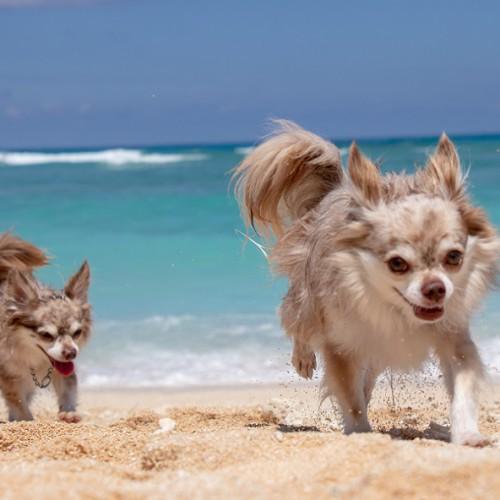 海岸を走るチワワ