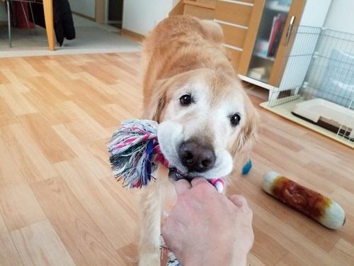 ロープをひっぱる犬