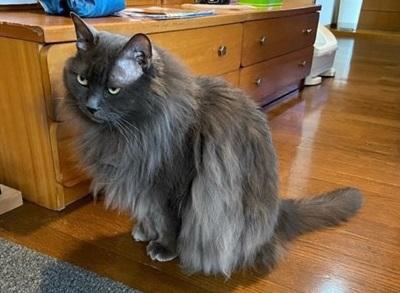 mofuwa使用前の猫